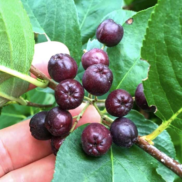 Not quite ripe Aronia fruit. When fully ripe, Aronia fruit is so dark purple that it appears black. This is due to their extraordinarily high anthocyanin content, a potent antioxidant.
