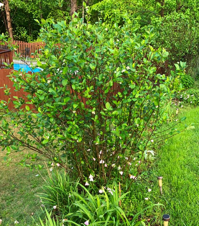 An Aronia melanocarpa plant. As you can see, the plant produces multiple canes/shoots rather than growing from a single trunk.