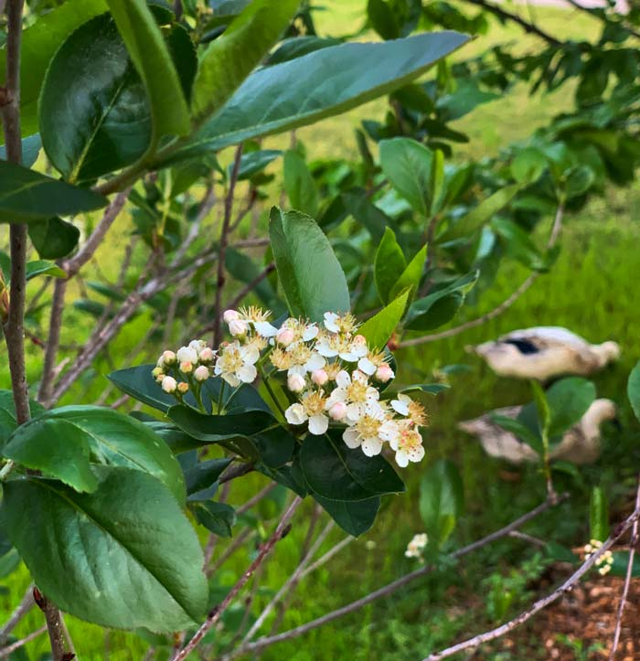 Aronia melanocarpa flower cluster in spring. You can see the flowers' resemblance to pear and apple flowers, which are also in the rose family.