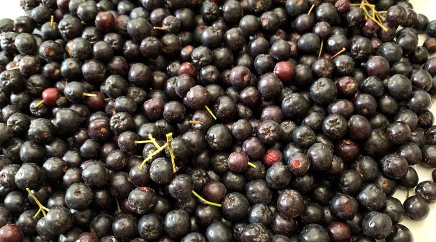 Aronia: how to grow or forage the world's highest antioxidant fruit thumbnail