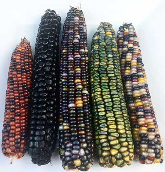 Some of the beautiful heirloom corn varieties we harvested from our summer garden this year. Our garden and Oak Hill Farm both use organic, no-till growing methods.