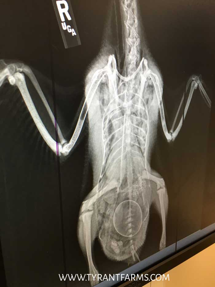 Svetlana's x-ray from when she was egg bound. That round mass towards the bottom of her tail is her egg. Luckily there weren't any others. / Duck Health Guide