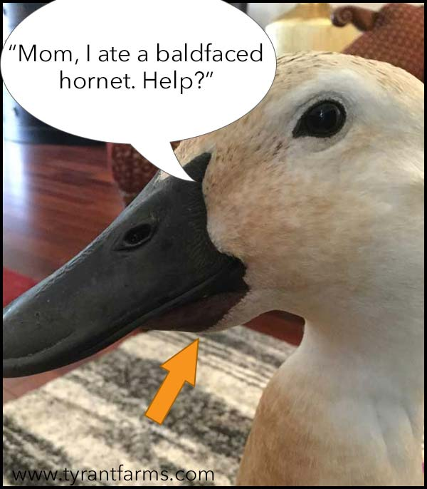 Just like your children, sometimes your ducks do dumb things. Like putting a hornet underneath their tongue. Not that we know anyone who has done that, do we, Jackson the duck? Nope. // Duck Health Guide