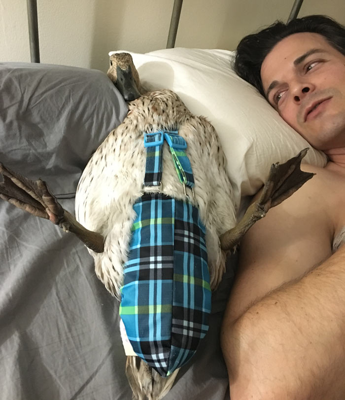 If you're going to occasionally bring your ducks indoors or have pet indoor ducks, you're going to need to learn how to diaper a duck. Marigold the duck (one of our most tame ducks) is not terribly happy about being put on her back, but her diaper is snazzy. How to get your ducks to like you.