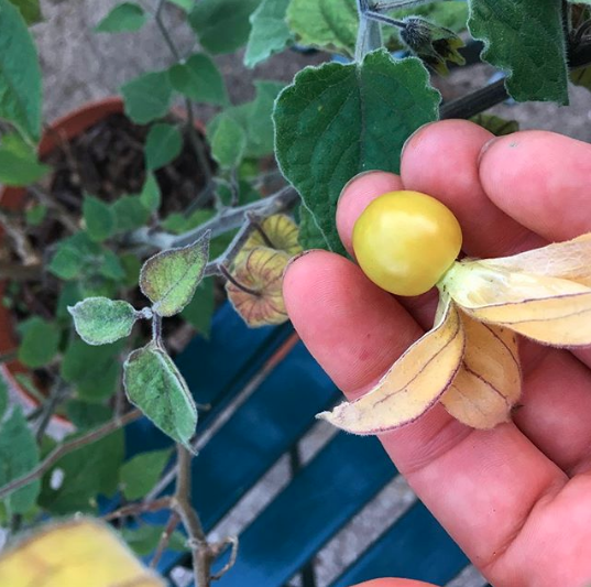 We love to grow varieties that you won't find at a nursery, like these cape gooseberries, aka Incan golden berries. To get good harvests in the summer, it helps to start these types of seeds indoors in Jan-Feb.
