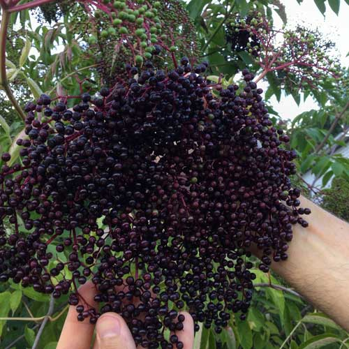 A cluster of ripe elderberries. Notice the clusters of green elderberries in the background—you want to avoid eating unripe elderberries, leaves, stems and roots since they contain cyanide producing glycosides.