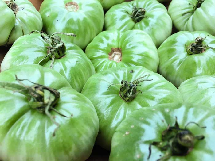 Large, unripe green tomatoes are coveted in the south, where they're often made into fried green tomatoes.