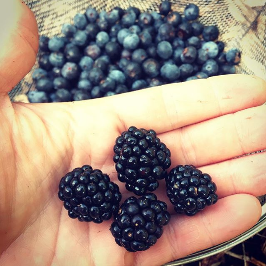 We LOVE summer berry season. Our plants are loaded with blackberries, raspberries, and blueberries right now.