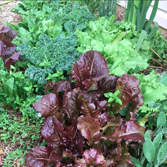 A veggie patch just outside of our front door, loaded with lettuce, chickweed, chicory, kale, and spinach.