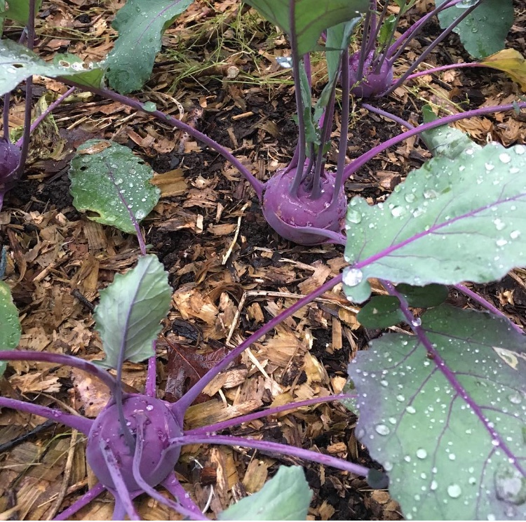 Azur Star kohlrabi growing in a no-till organic bed in our garden.