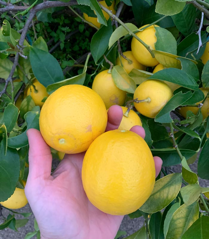 It's awesome being able to walk out the front door and pick a pile of perfectly ripened, organically grown Meyer lemons.