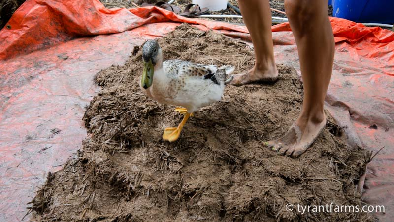 Stomping cob is a fun process that gives you quite the workout. We recommend getting some extra help from friends AND doing your cob-stomping on top of a tarp. Ducks are optional.