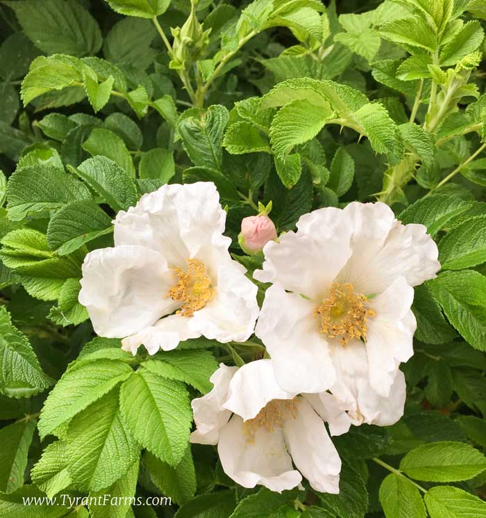 Rosa rugosa 'Alba' flowers in the foreground plus a rose bud (top middle). Both rose petals and buds are edible, but some varieties are better than others.