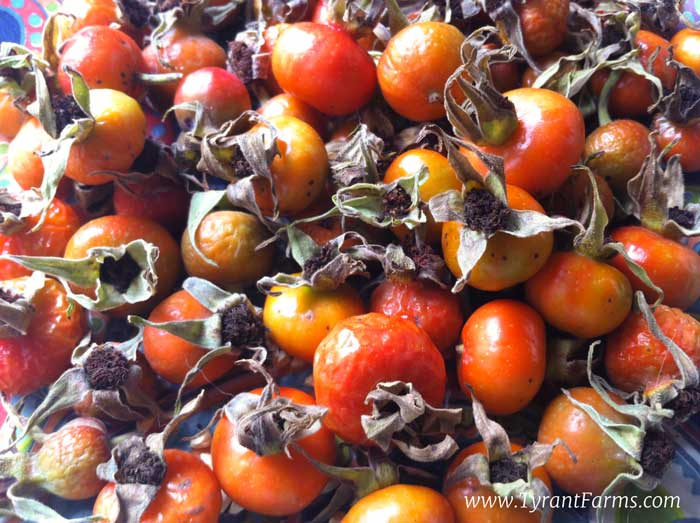 A pile of ripe rose hips ready to be processed.