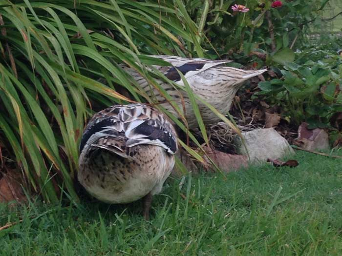 There's nothing cuter than a set of duck butts sticking out from under a bush during a foraging session.