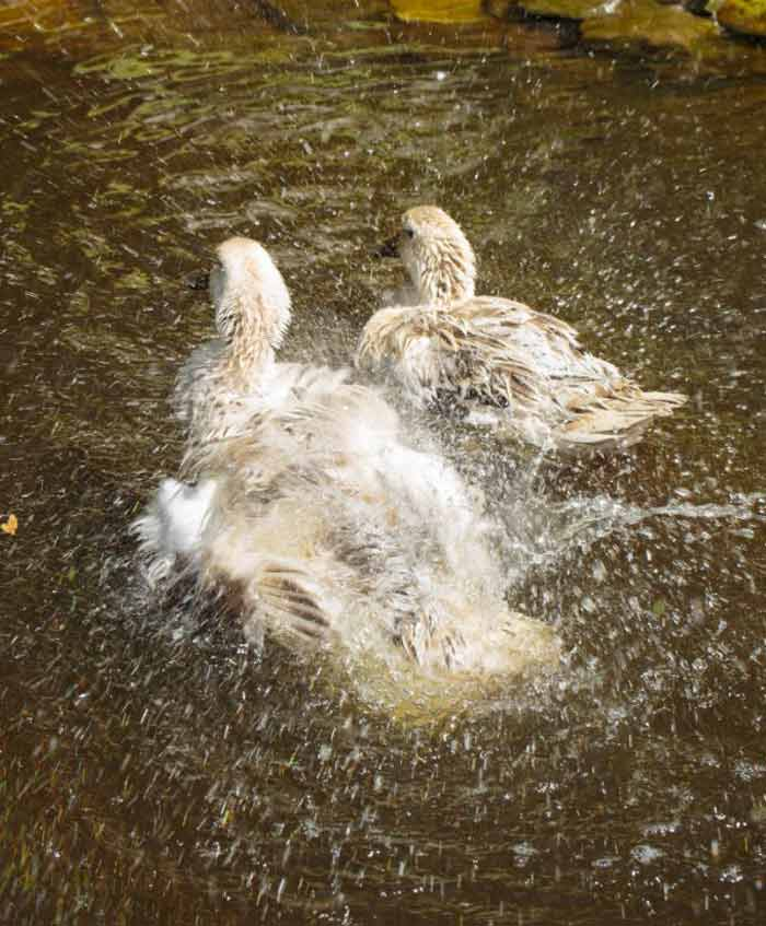 White Duck and Medium Duck cleaning, washing, and playing together in their pond.