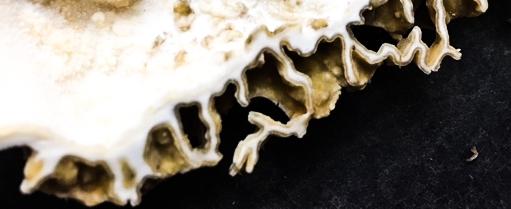 Strikingly beautiful profile of a cut morel. Morel mushrooms