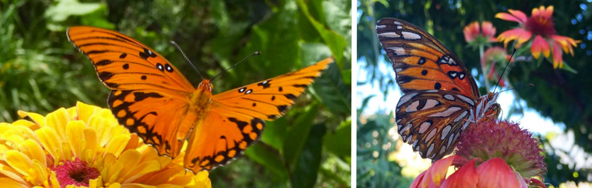 A message from Fred the Gulf Fritillary Butterfly thumbnail