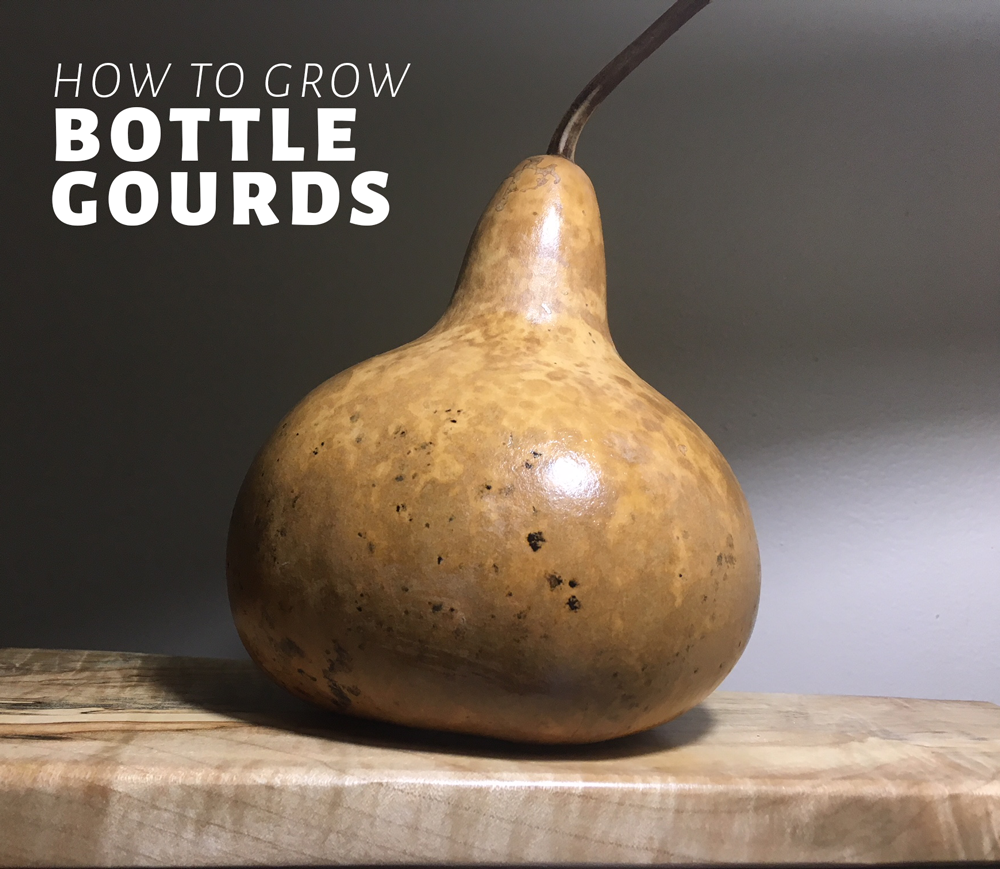 How to grow bottle gourds organically