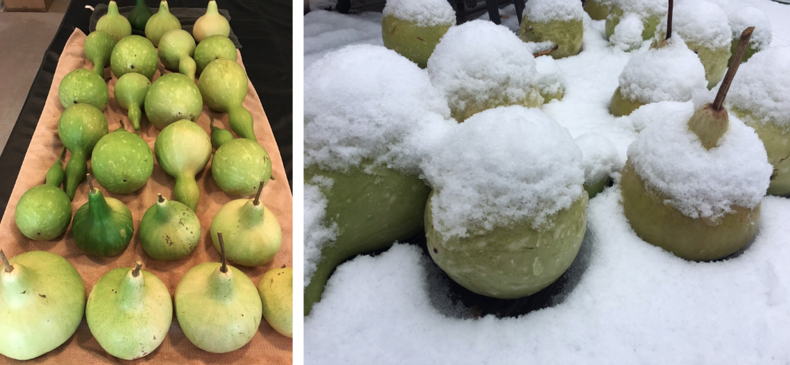 Bottle gourds drying inside (left) and outside (right).