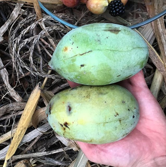 Ripe pawpaw fruit at Tyrant Farms. Fruit trees that grow in shade.