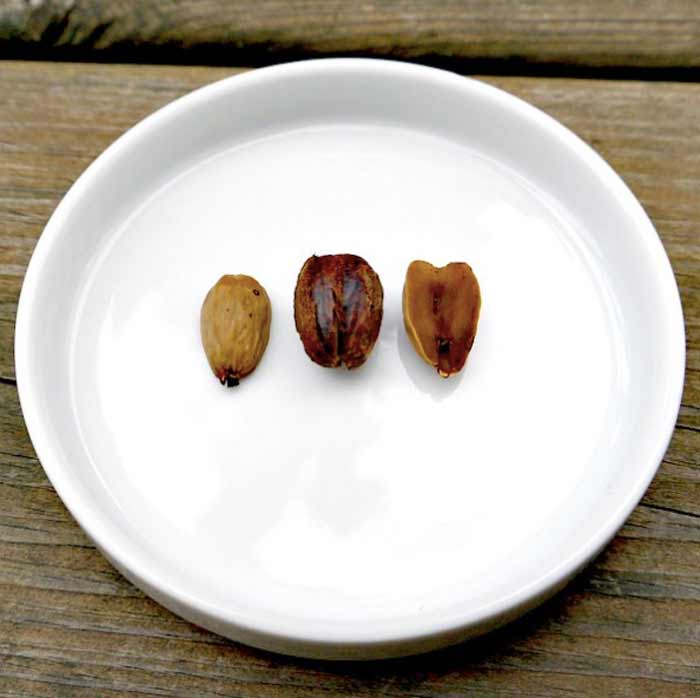Closeup of acorn nuts with shells removed. Nuts on the right and left have no skin/testa on them. The acorn in the middle still has the skin on.