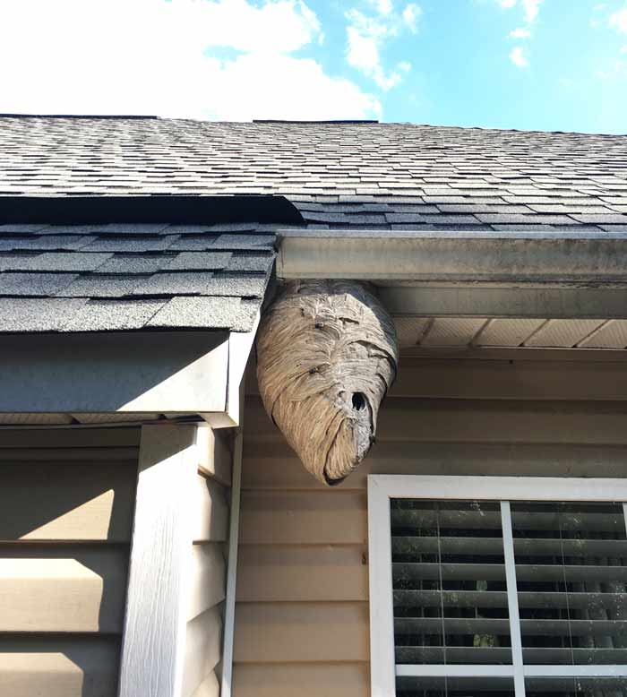 The same bald-faced hornet nest on Oct 13. This was its final size. Bald-faced hornets by Tyrant Farms