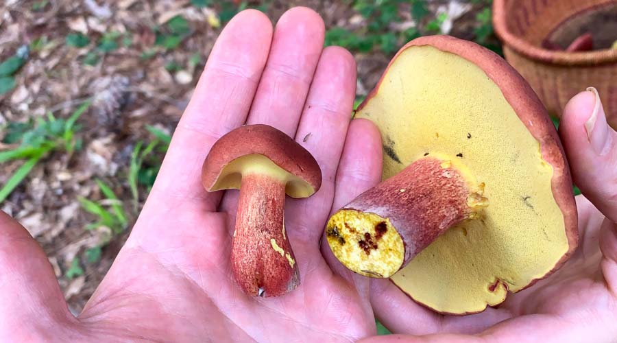 Bicolor bolete (Baorangia bicolor) - how to find, ID, and eat this wild gourmet mushroom thumbnail