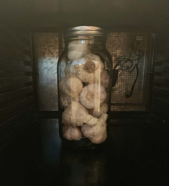 Our first test batch of garlic intended for black garlic in a half gallon jar inside our 9-tray Excalibur dehydrator (trays removed). Making a single jar isn't terribly energy efficient, but this was a test run and we didn't want to waste too much garlic if it didn't turn out well.