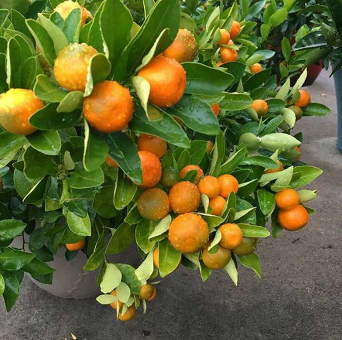 Loaded calamondin branches.