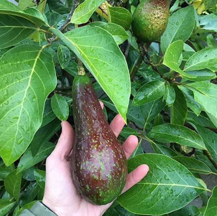The skin on our Don Gillogly avocados is darkening, indicating they're almost ready to harvest.