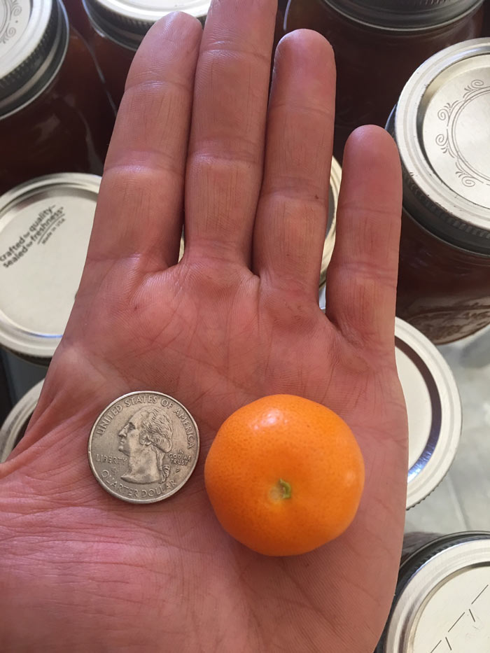 An average sized calamondin orange for size reference.