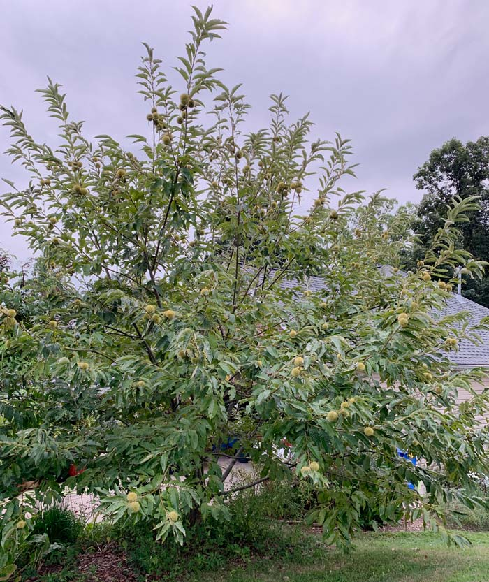 Our largest chestnut tree, which is probably about 9-10 years old now. We're probably not the best model for how to prune your chestnut trees, since we tend towards lazy gardening. We're not commercial orchardists so don't judge.