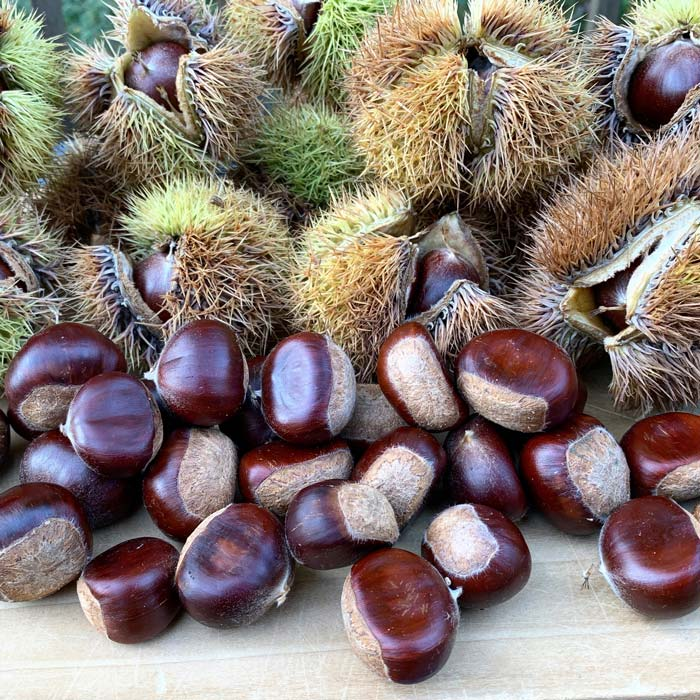 Nuts and burrs from our Chinese chestnuts. These nuts are about 20 grams each, whereas American chestnuts are much smaller, usually about 5 grams.