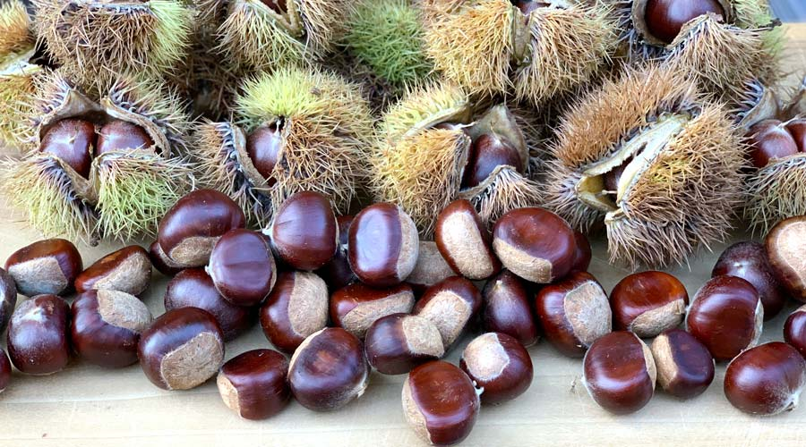 Why and how to grow chestnuts in your home orchard or homestead thumbnail