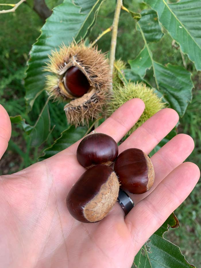 Ripe fallen chestnuts in hand, and a ripe chestnut inside an opening burr (back left). Back right you can see an unopened green chestnut burr that's still developing.
