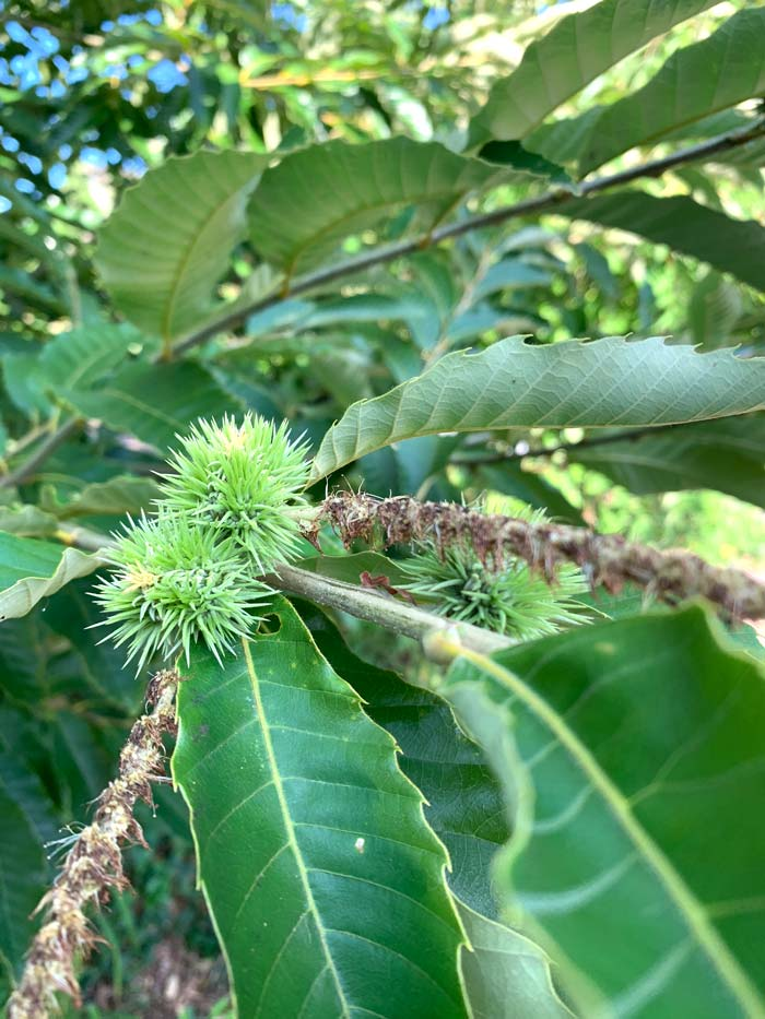 Young chestnuts developing at the base of the flowers. We jokingly refer to the flowers as chestnut umbilical cords since they hang on to the growing nut all the way until harvest.