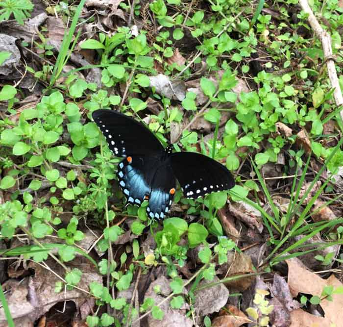 A gorgeous spicebush swallowtail butterfly (Papilio troilus) resting on a patch of chickweed, perhaps to get a sip of water. Please avoid using synthetic pesticides. The best method to control chickweed in your yard? Eat it.