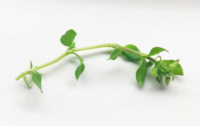 A closer look at a single stem of chickweed (Stellaria media).