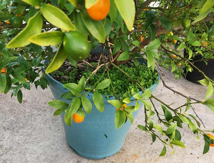 We also grow chickweed in our potted citrus containers, like this kumquat plant. That way, it's easy to get a serving of fresh fruits and veggies from the same pot!