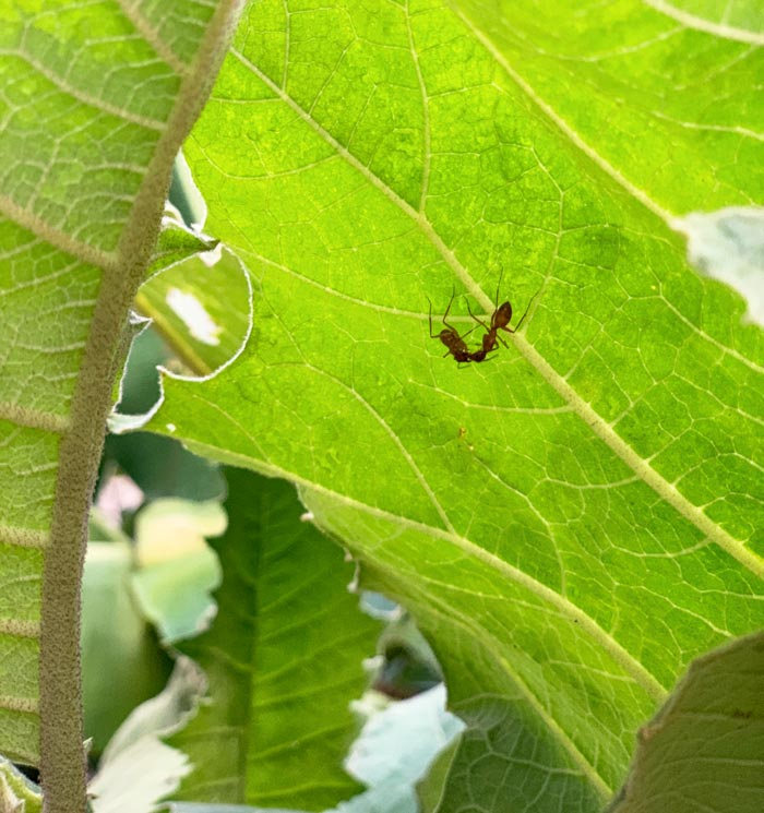 Large red ants greeting each other on the underside of a cocona leaf. Cocona plants most closely resemble giant eggplant plants. They produce large, heavily veined leaves with scalloped leaf margins.
