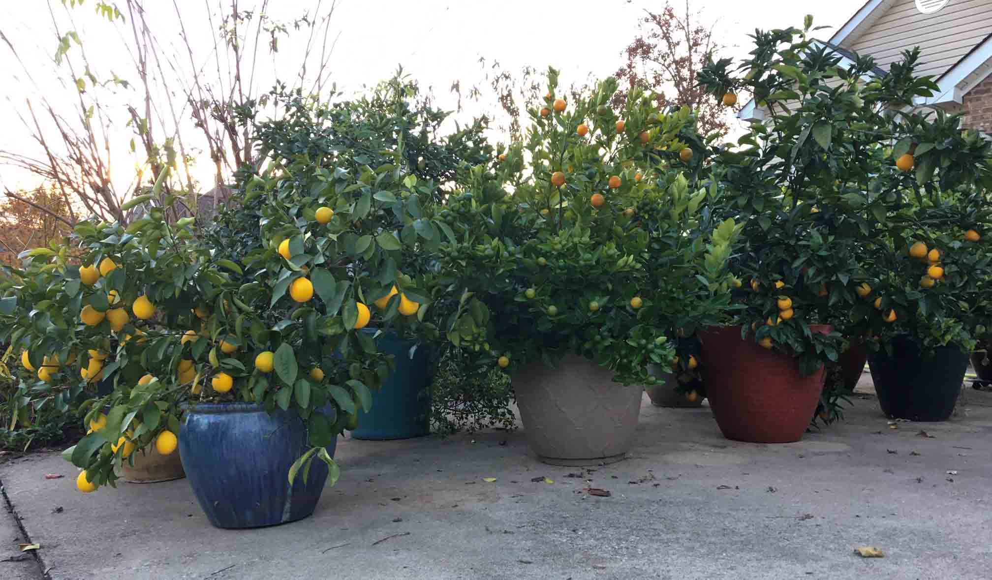 We grow lots of different varieties of citrus that would normally die in the winter where we live if we couldn't bring the plants in and out of our garage on nights when temps go well below freezing. Container gardening questions.