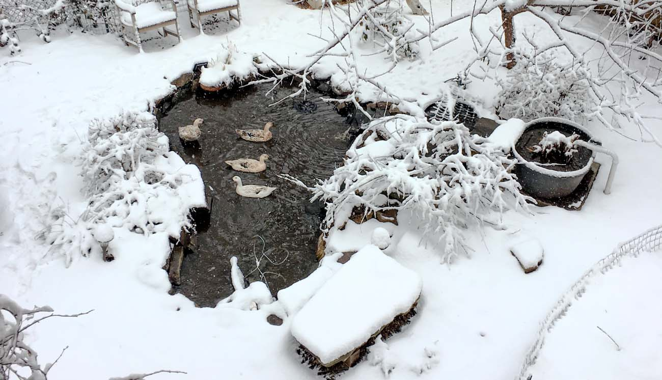 Our ducks taking a swim on a snowy morning in their self-cleaning backyard pond. Things to know before you get ducks - ducks need water.