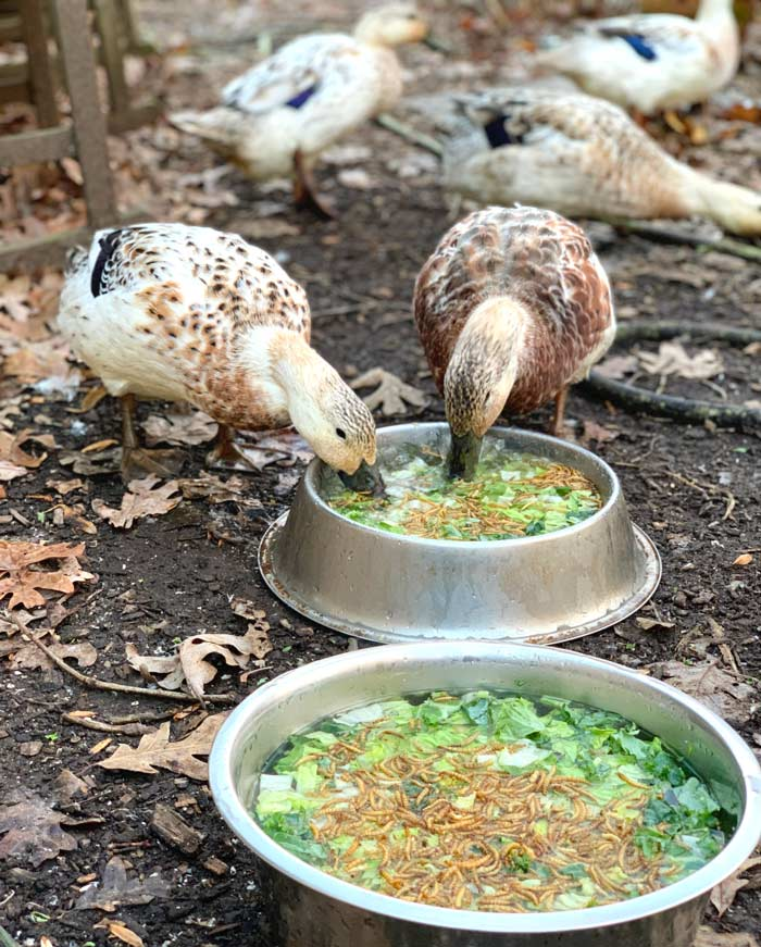 Our ducks enjoying a nice morning offering of organic lettuce and kale plus a sprinkling of mealworms. From: What to feed pet or backyard ducks to maximize their health and longevity.
