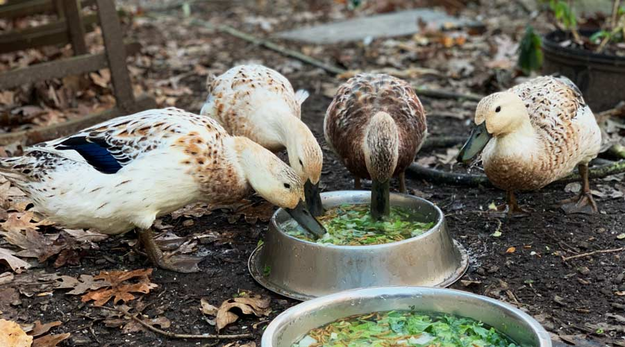 What to feed pet or backyard ducks to maximize their health and longevity thumbnail