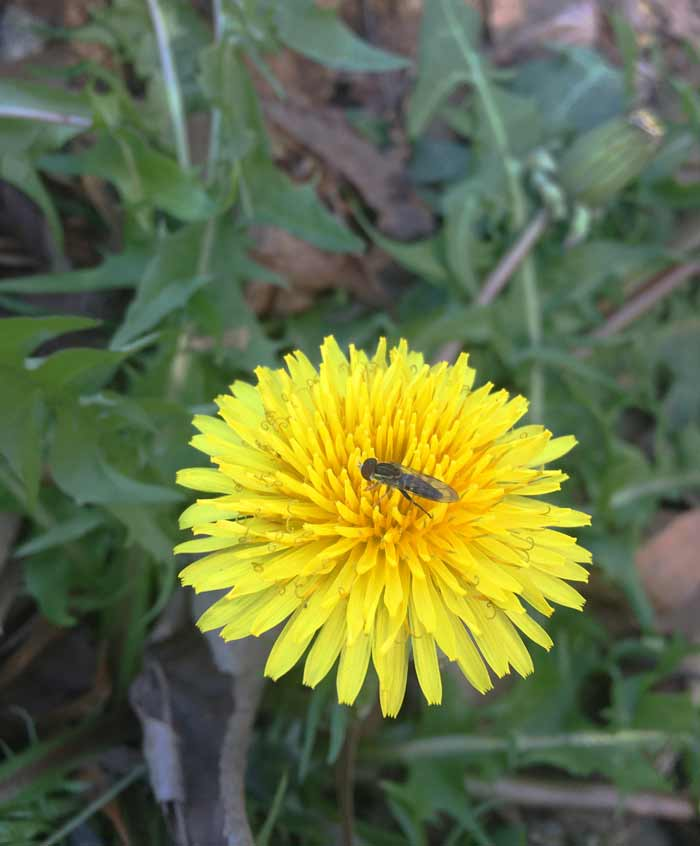 A syrphid fly foraging a dandelion flower. Edible weeds by Tyrant Farms.