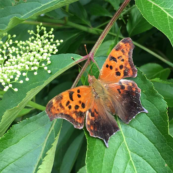 This is a beautiful Question Mark butterfly (Polygonia interrogationis), recently emerged on an elderberry plant, which provides edible/medicinal flowers and fruit. Butterfly garden with edible plants.