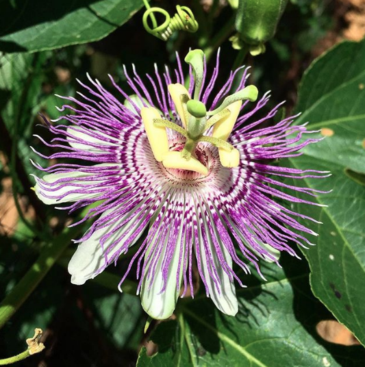 This is the plant I grew up on. Sweet crib, huh? Passiflora incarnata