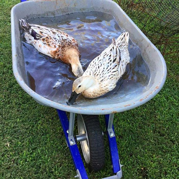 We sometimes get a lot of rain in South Carolina. This particular shower filled up our wheelbarrow, turning it into a temporary duck pond. As much as we miss Cindy, we admire the solid, dependable build of Koby (our new Kobalt wheelbarrow).