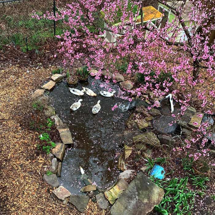 Our duck pond in early spring just as the peach flowers are blooming.